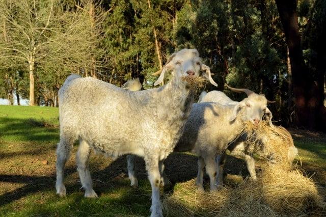 Farmstay goats