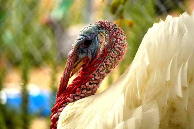 Farm turkey