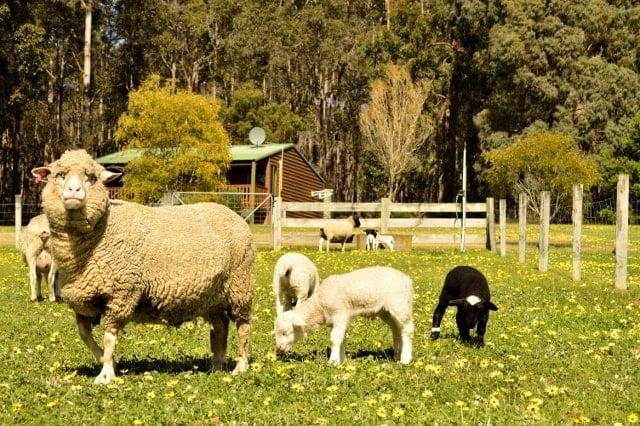 Farmstay sheep