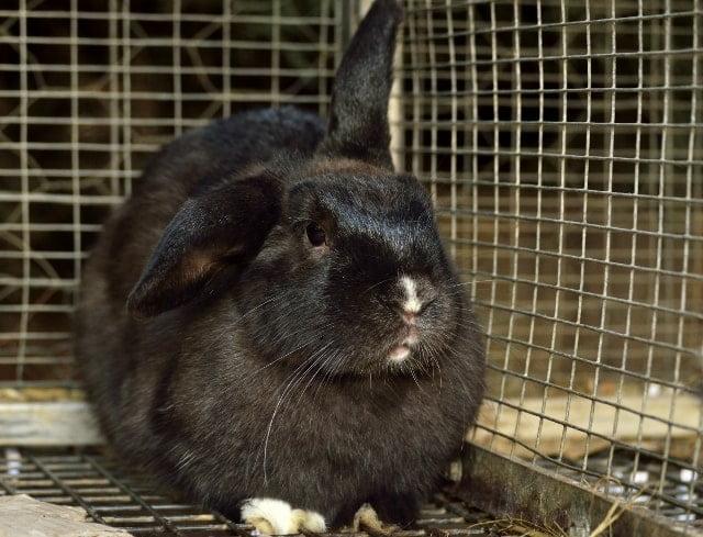 Farm rabbit