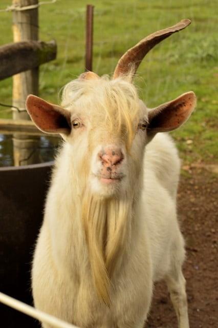 Farm saanen goat