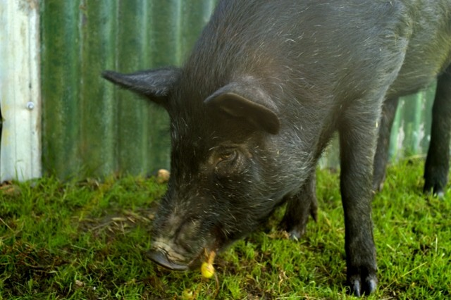 Farm stay pig